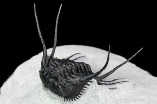 "Buy 1.5"" Spiny Leonaspsis Trilobite With Free-Standing Spines - #108796"