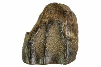 "Buy .82"" Shed Triceratops Tooth - Montana - #109084"