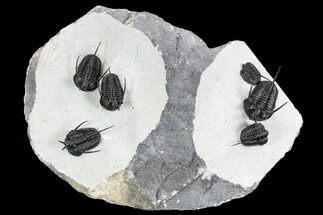"Exceptional ""Devil Horned"" Cyphaspis Trilobite Cluster For Sale, #108776"