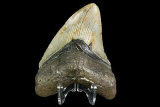 Carcharocles megalodon - Fossils For Sale - #108993