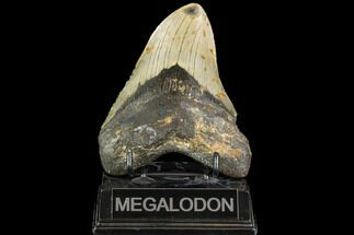 Carcharocles megalodon - Fossils For Sale - #108954