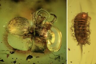 Buy Fossil Spider (Araneae) And Larva In Baltic Amber - #109354