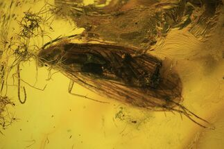 Detailed Fossil Caddisfly (Trichoptera) In Baltic Amber For Sale, #109442