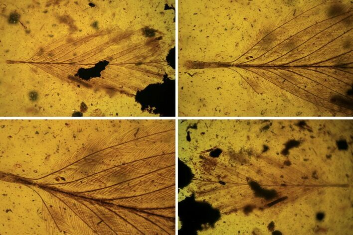 Very Nice, 6mm Cretaceous Fossil Feather In Amber - Myanmar