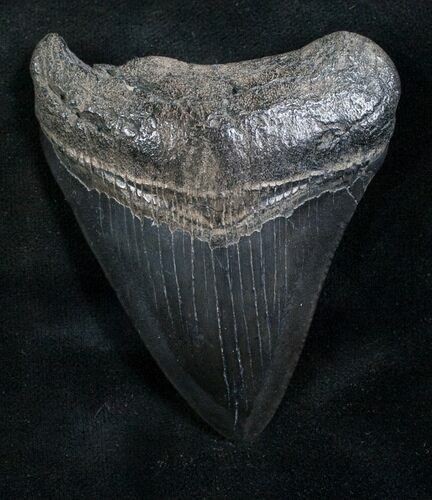 "2.79"" Megalodon Tooth - South Carolina"