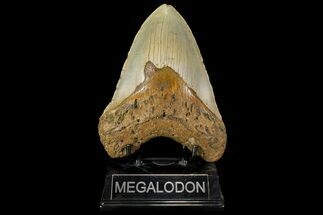 "Huge, 5.55"" Fossil Megalodon Tooth - North Carolina For Sale, #109769"