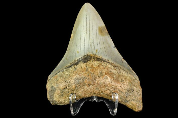 "3.33"" Fossil Megalodon Tooth - North Carolina"