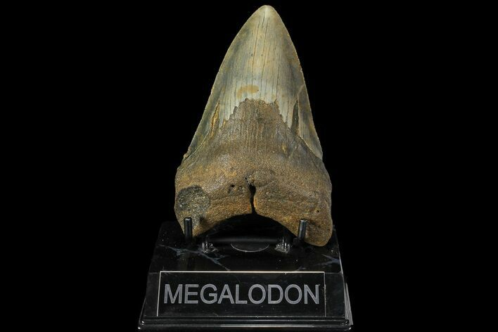 "4.75"" Fossil Megalodon Tooth - North Carolina"