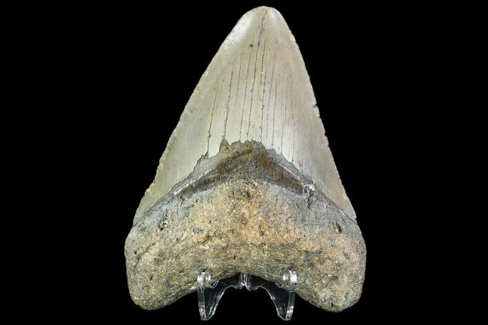 "3.89"" Fossil Megalodon Tooth - North Carolina"