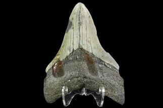 "Buy 3.47"" Fossil Megalodon Tooth - North Carolina - #109888"