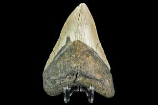 Carcharocles megalodon - Fossils For Sale - #109806