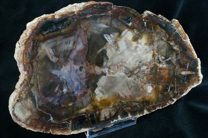Quality Araucaria Petrified Wood Slab - 8.6""