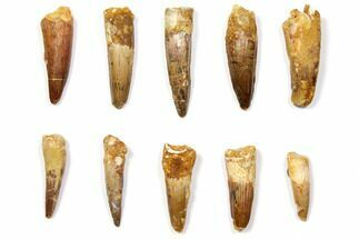 "Buy Wholesale Lot: 1.5-2.3"" Bargain Spinosaurus Teeth - 10 Pieces - #108550"
