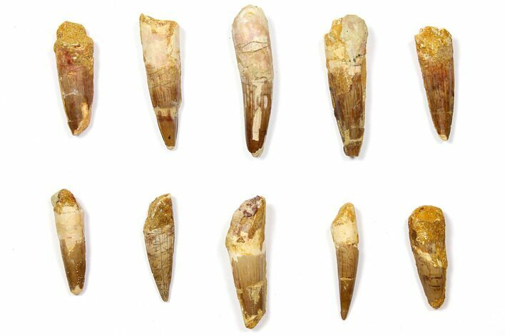 "Wholesale Lot: 1.5 to 2.2"" Bargain Spinosaurus Teeth - 10 Pieces"