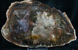 "Quality Araucaria Petrified Wood Slab - 8.6"" - #7630-3"