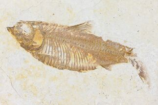 "4.0"" Fossil Fish (Knightia) - Wyoming For Sale, #109961"