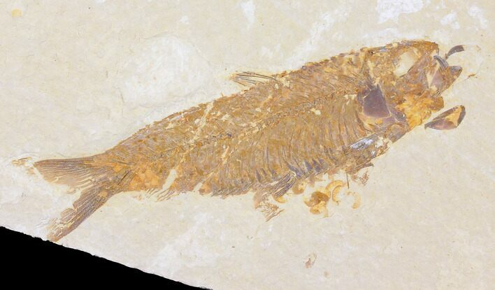 "3.7"" Fossil Fish (Knightia) - Wyoming"