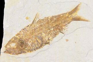 "Buy 4.2"" Fossil Fish (Knightia) - Wyoming - #109993"