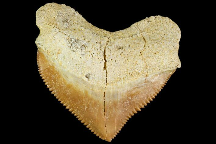 "1.27"" Fossil Crow Shark (Squalicorax) Tooth- Morocco"