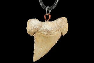 "1.47"" Fossil Shark (Palaeocarcharodon) Tooth Necklace -Morocco For Sale, #110240"