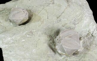 Two Blastoid (Pentremites) Fossils - Illinois For Sale, #102260