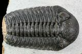 "2.05"" Adrisiops Weugi Trilobite - Recently Described Phacopid - #110710-2"