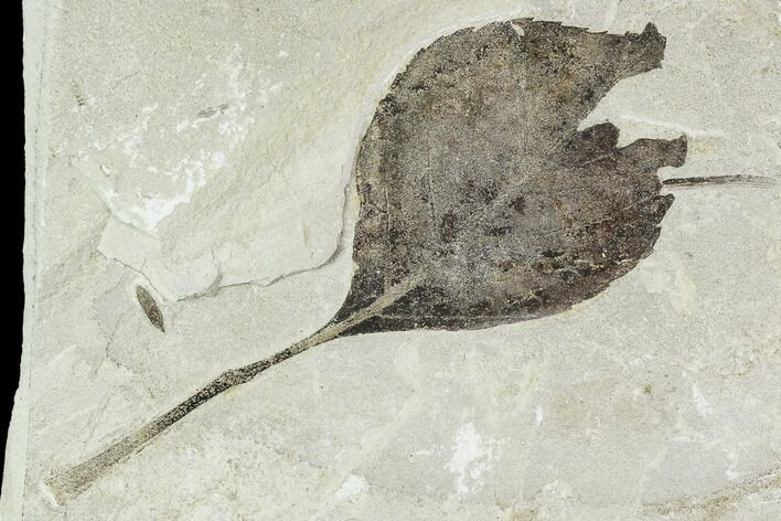 Fossil Poplar (Populus) And Mimosites Leaf - Green River Formation