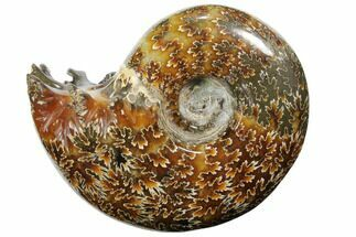 "3.7"" Polished, Agatized Ammonite (Cleoniceras) - Madagascar For Sale, #110510"