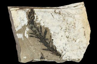 "2.3"" Metasequoia Fossil - Cache Creek, BC For Sale, #110885"