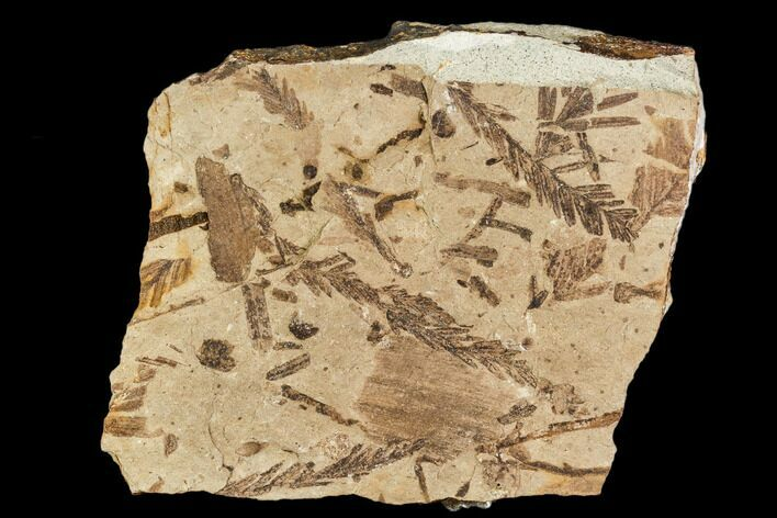 "3.2"" Metasequoia Fossil Plate - Cache Creek, BC"