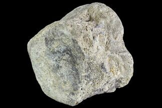 "Buy 3.1"" Hadrosaur Vertebra Centrum - Alberta (Disposition #000024-25) - #111127"
