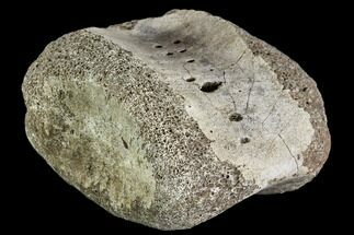 Unidentified Hadrosaur - Fossils For Sale - #111132