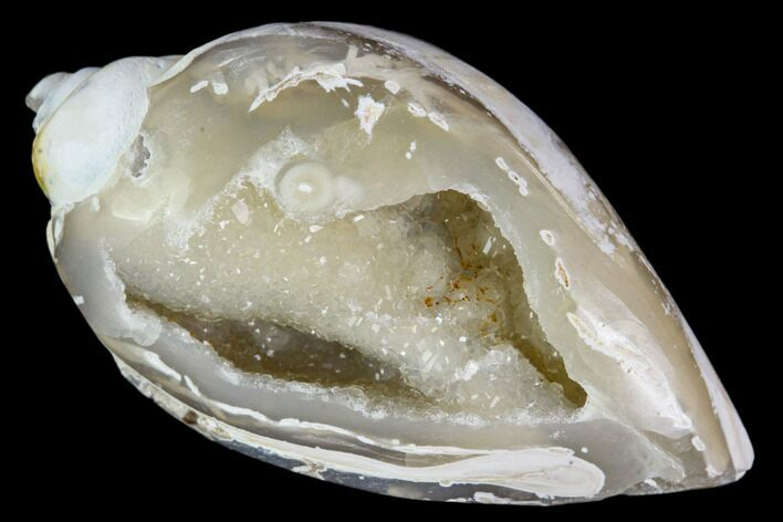 "1.3"" Chalcedony Replaced Gastropod With Druzy Quartz - India"