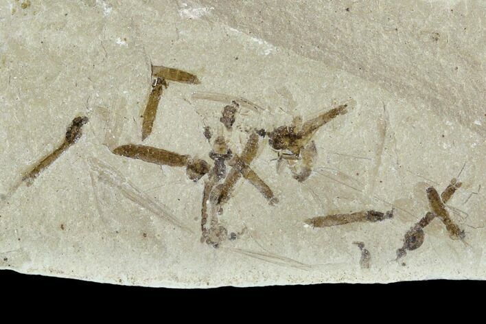 Fossil Cranefly (Tipulidae) Cluster - Green River Formation, Utah
