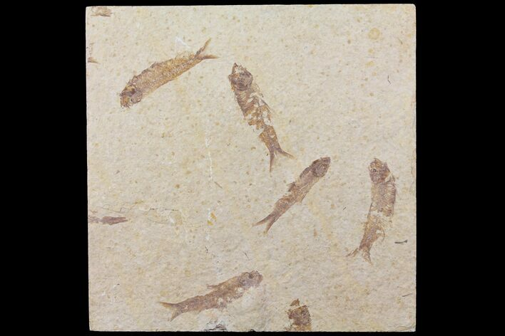Five Fossil Fish (Knightia) Plate- Wyoming