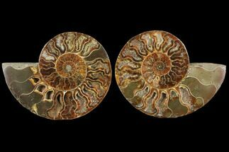 Cleoniceras - Fossils For Sale - #111483