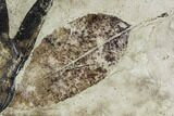 Two Fossil Leaves (Sycamore and Ash) - Green River Formation, Utah - #111460-1