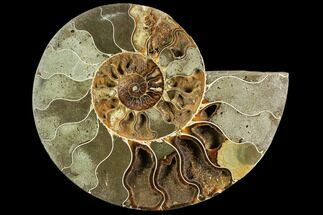 "Buy Bargain, 7.0"" Agatized Ammonite Fossil (Half) - Crystal Chambers - #111550"