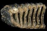 "6.8"" Partial Southern Mammoth Molar - Hungary - #111861-2"