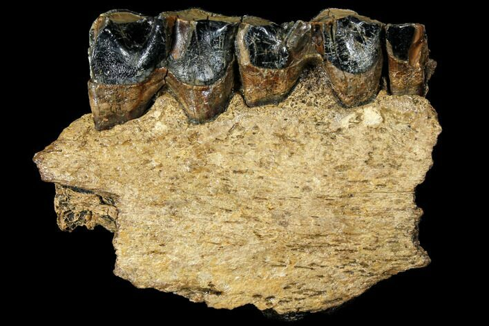 "4.3"" Woolly Rhino (Coelodonta) Jaw Section - Rhine River, Germany"