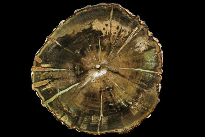 "4.7"" Petrified Wood (Woodworthia) Round - Top Quality"