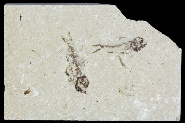 Two Cretaceous Fossil Fish - Lebanon