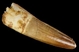 "2.5"" Real Spinosaurus Tooth - Real Dinosaur Tooth For Sale, #112124"