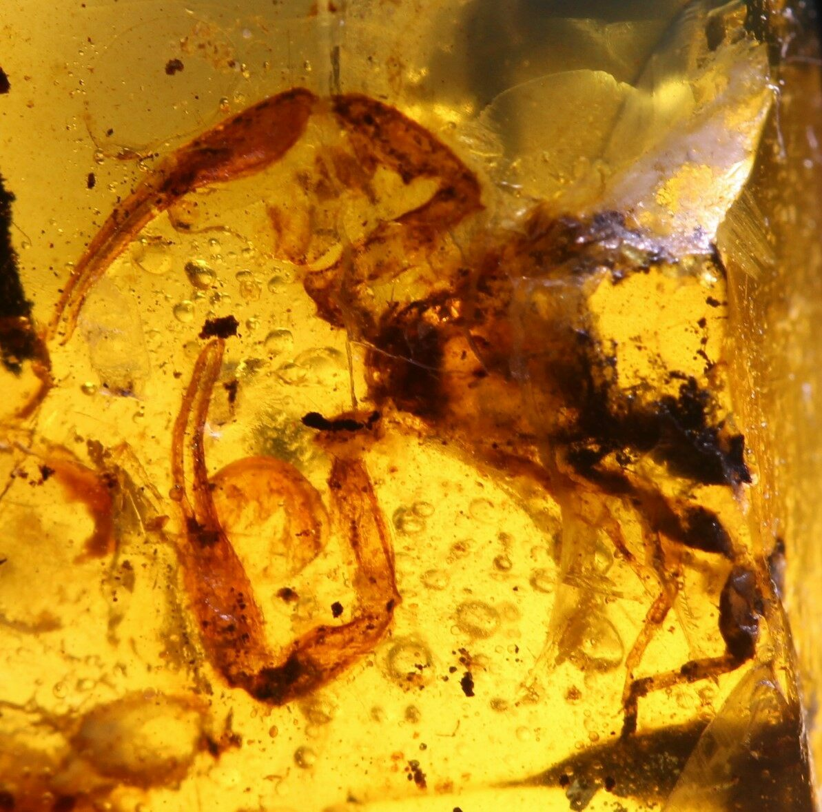 Electronic Recruitment Application Era Myanmar: Fossil Scorpion (Scorpiones) In Amber