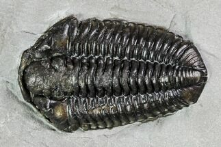 "Buy 1.3"" Calymene Niagarensis Trilobite - New York - #99055"