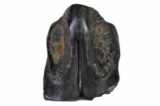 "Buy .29"" Fossil Hadrosaur (Edmontosaurus) Shed Tooth- Montana - #110974"
