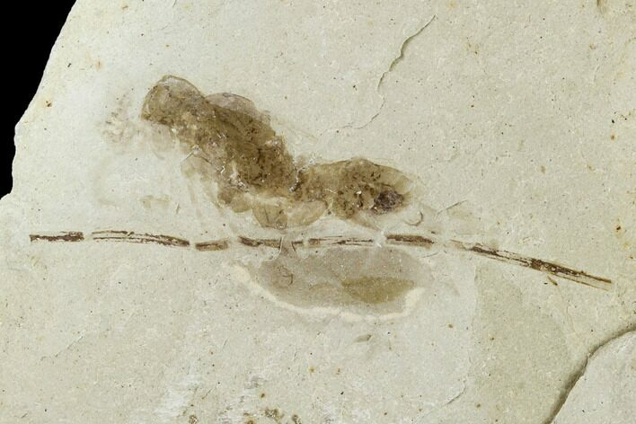 .6 Fossil Ant (Formicidae) - Green River Formation, Utah