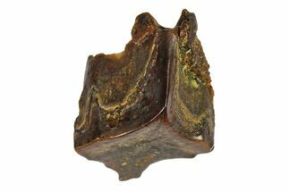 ".23"" Fossil Hadrosaur (Edmontosaurus) Shed Tooth- Montana For Sale, #110957"