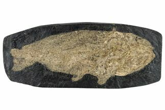 "9.1"" Eocene Fossil Fish (Amia) - Messel Shale, Germany For Sale, #113177"