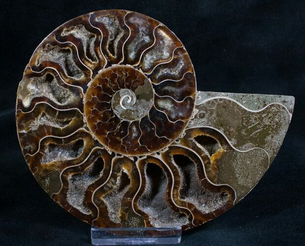 "4.7"" Split Ammonite Fossil (Half) - Beautiful"